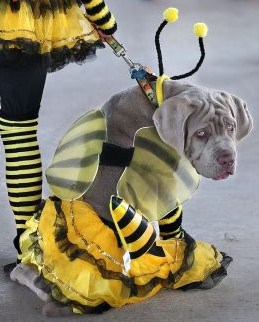 Homer the mastiff pup-the grumblebee (2)