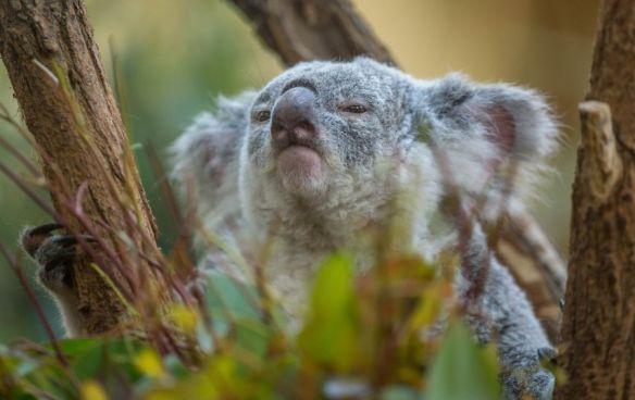 Morpheus the koala