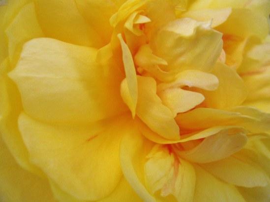 8-5-14-rose-jpeg
