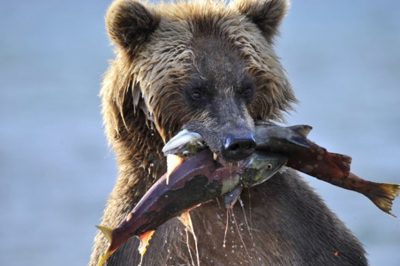 potd-bear-fish_3132092k
