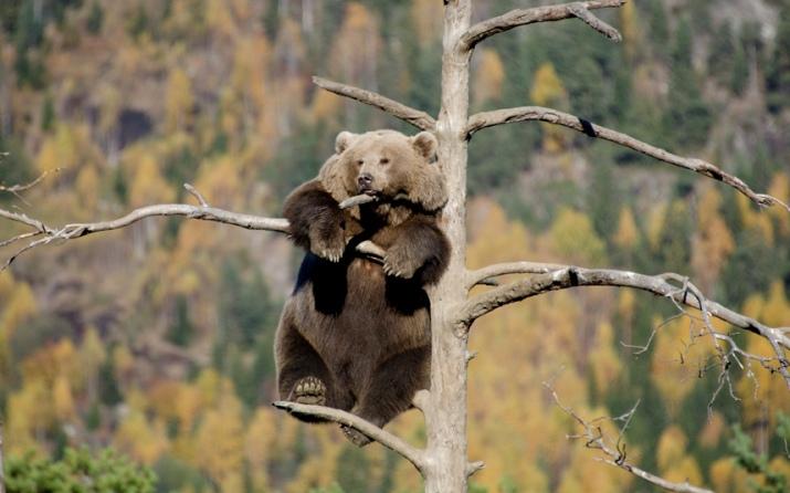 potd-bear-tree_3133658k
