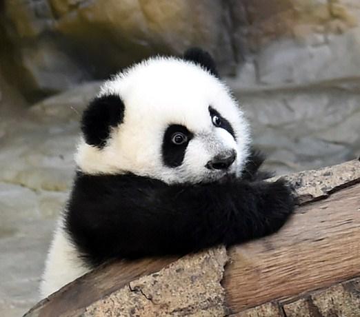 potd-panda-1_3134810k