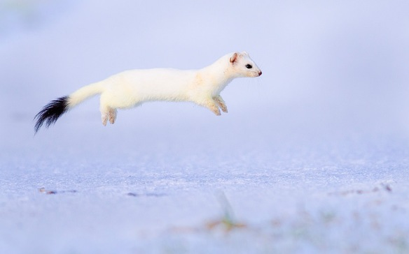 flying ferret