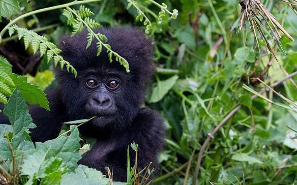 POTD-baby-gorilla_3149579k