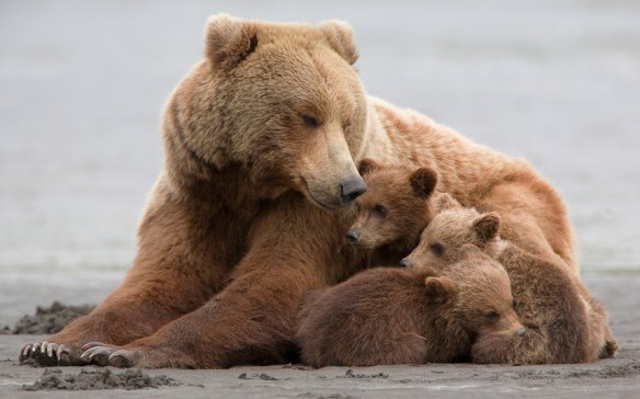 potd-bear-family-Hank Perry