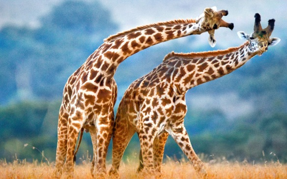 potd-giraffes dancing