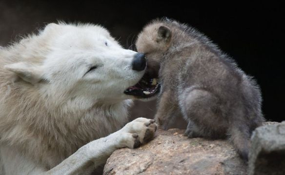wolf mom and pup