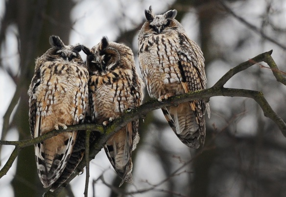 3 owls in russia-Olga Maltseva-AFP-Getty Images