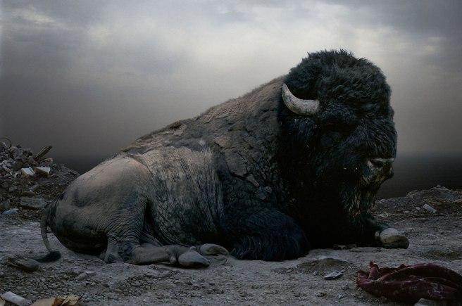 SJohan-buffalo1 NG2