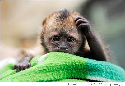 capuchin6