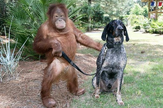 Orangutan-and-Dog-are-BFF-8