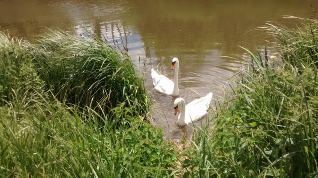 willows swans