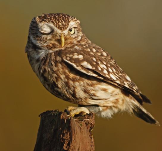 owl_uktel_apotw