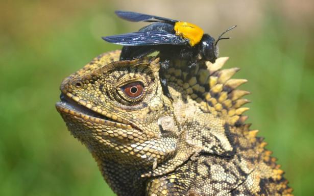 potd-lizard-bee_uktel-8-4-15