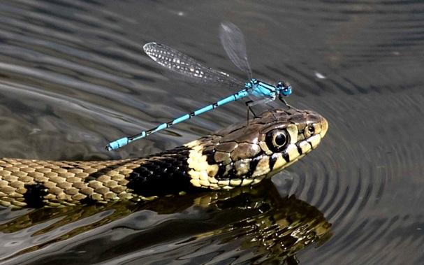snake-piggyback-po_uktel-8-4-15