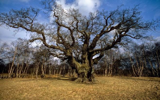 tree-majoroak_uktel-8-6-15