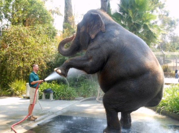 Clean elephant