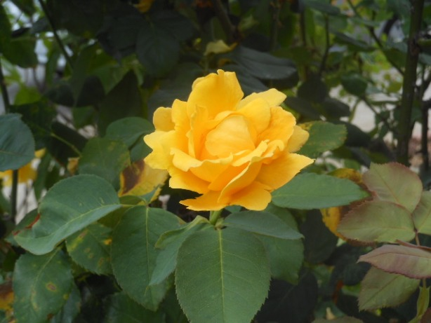 yellow rose 1