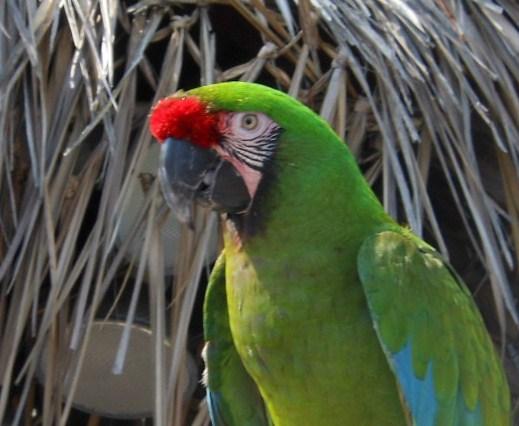 african-parakeet