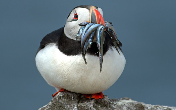 portly puffin