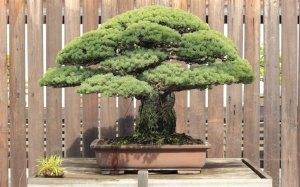 bonsai_3399256k