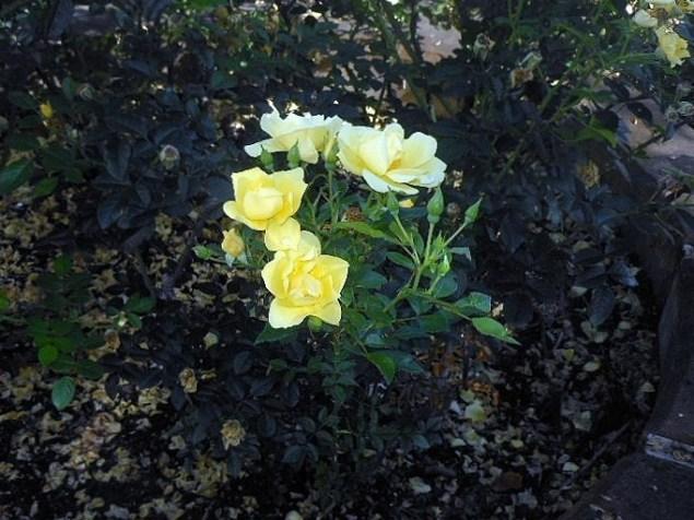 yellow prims