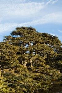 trees-cedarsofgod_uktel-8-6-15