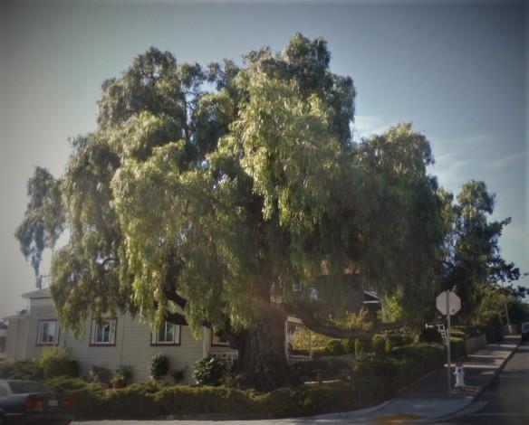 old pepper tree on York